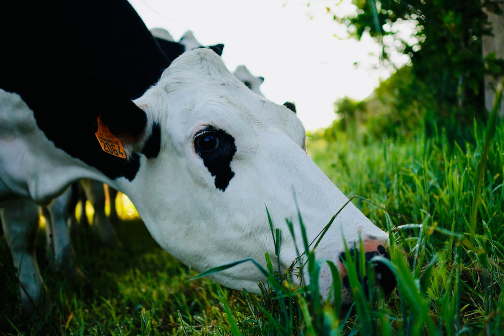 close-up photography of white and black cattle