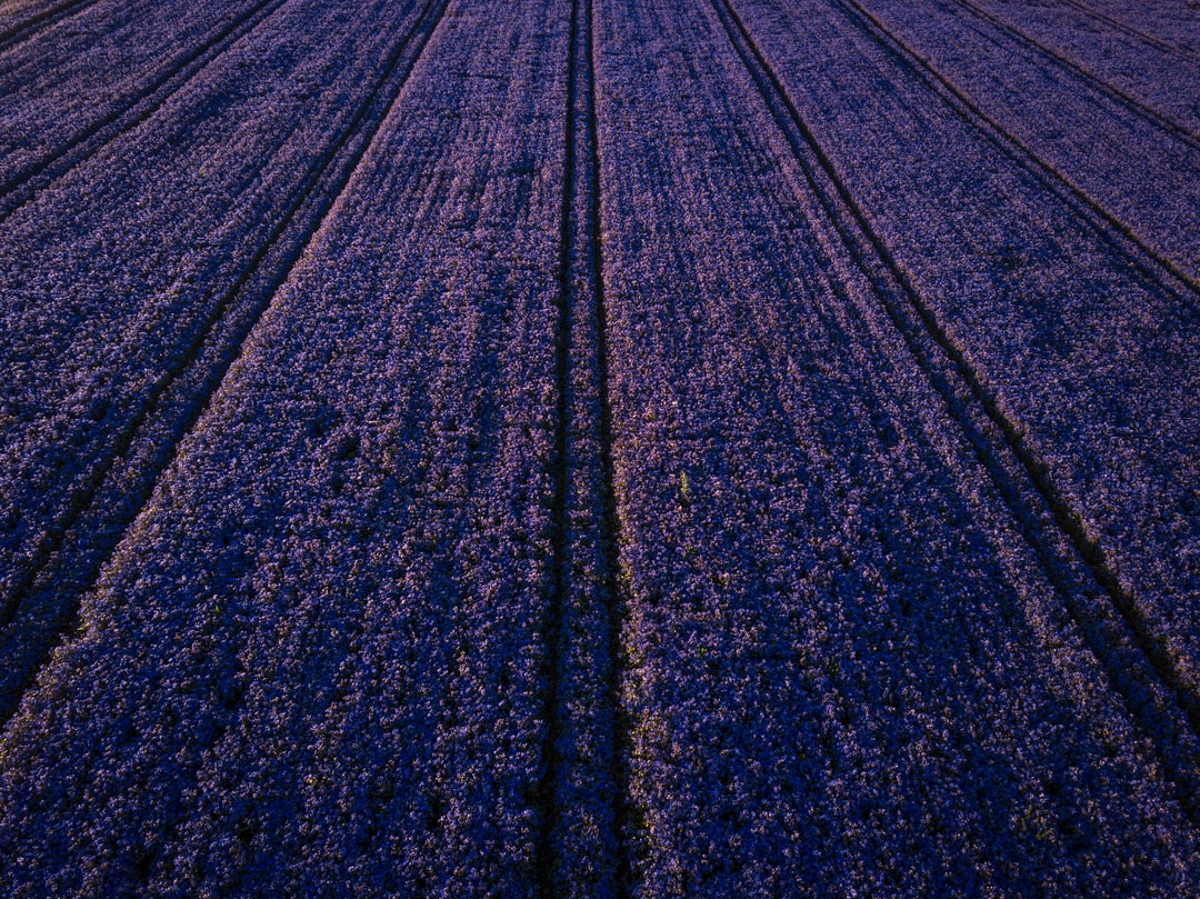 This field was hands down the most intense color I've ever seen on a farm. The crop was so thick and vibrant that I chose to use my drone to do it justice. Like 90 percent of my landscape photos, I took this one in the evening to bring out the color and depth. This is one of a handful of farms outside Salem, Oregon, that plants these flowers. There's a short window to see the flowers in bloom--blink and you'll miss it. If you're addicted to the color purple, then consider me your dealer.