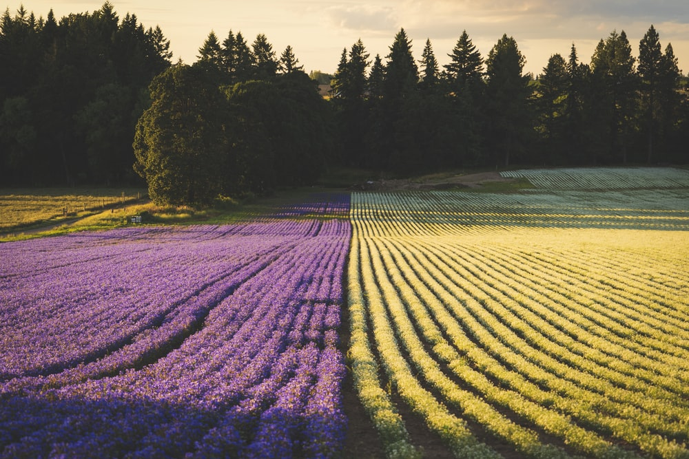 yellow and purple flower field