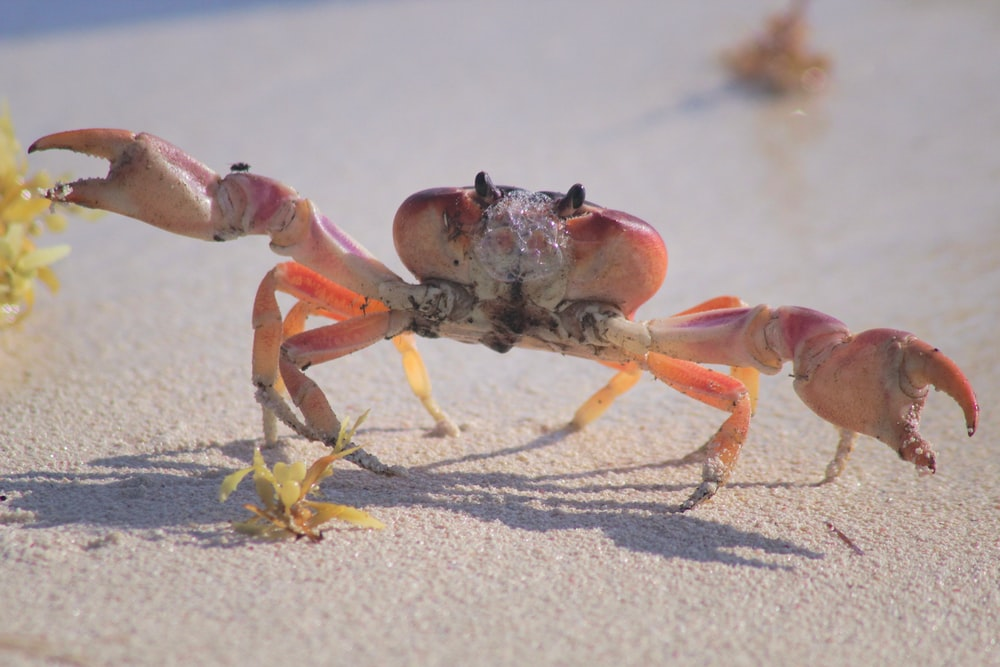 orange crab on focus photography