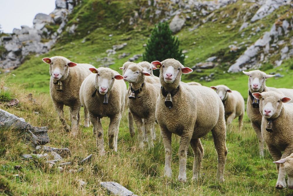 flock of sheep during daytime