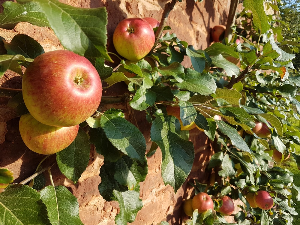 red apples on branch during daytime