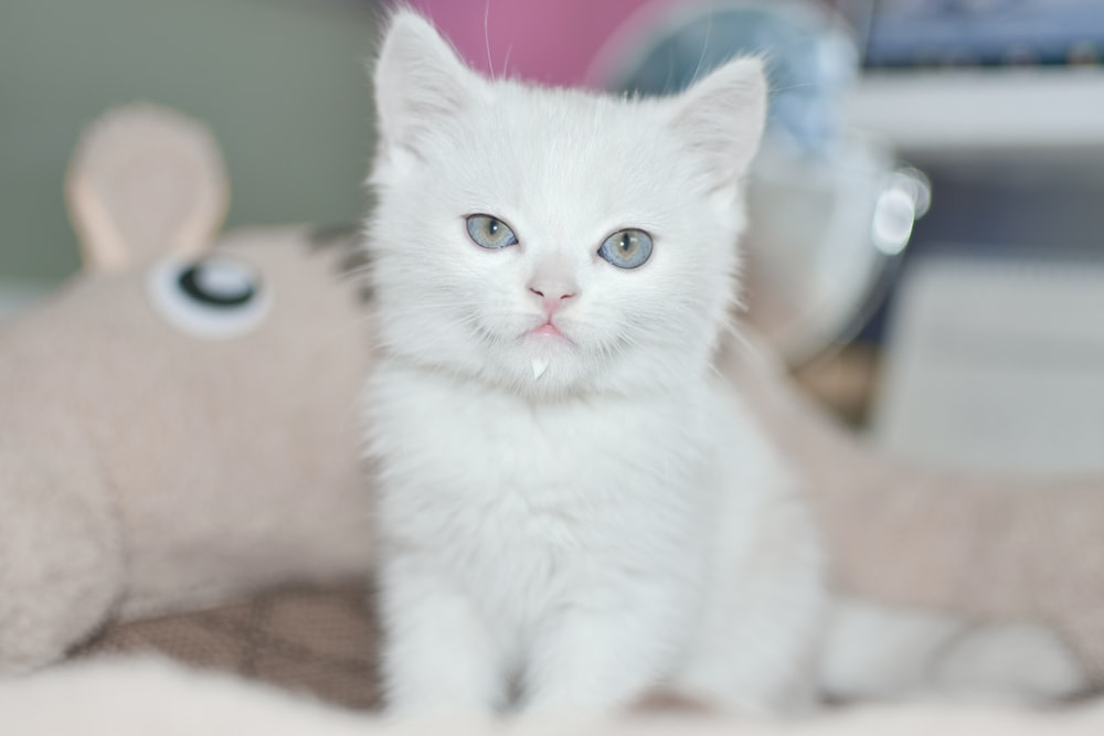 white coated kitten