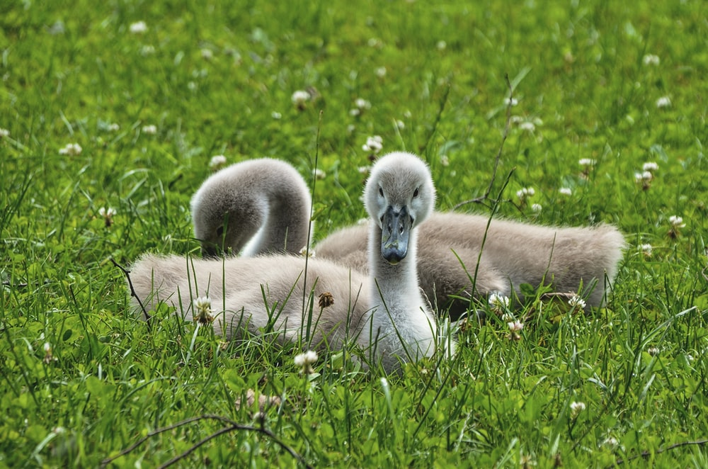 two gray ducklings