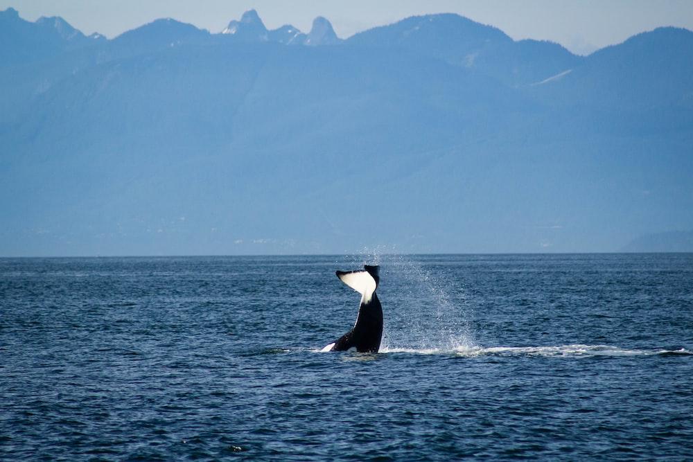 black and white whale shark on sea