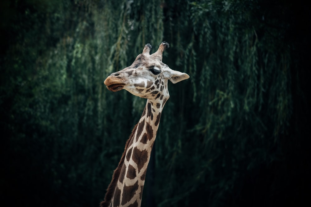 brown giraffe on focus photography