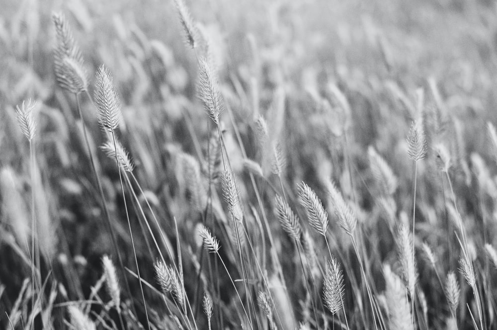 closeup photography of wheat fields