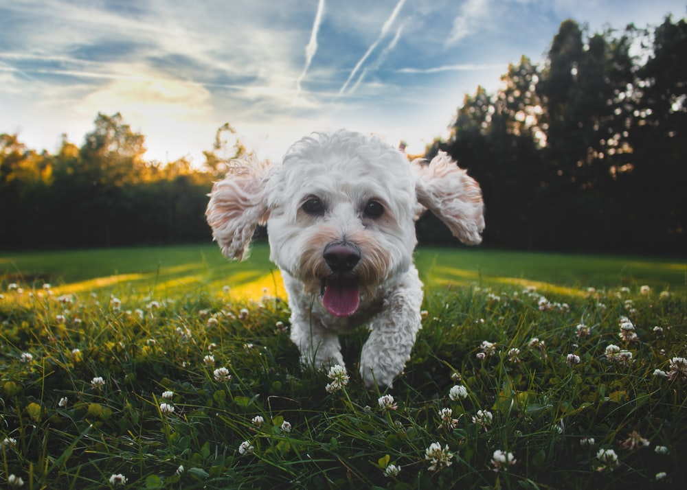 close-up photo of white medium-coated dog running on grass field during daytime