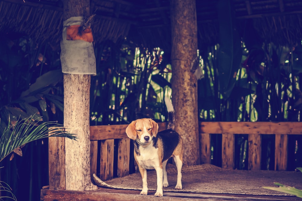 adult white, black, and tan beagle standing near the tree