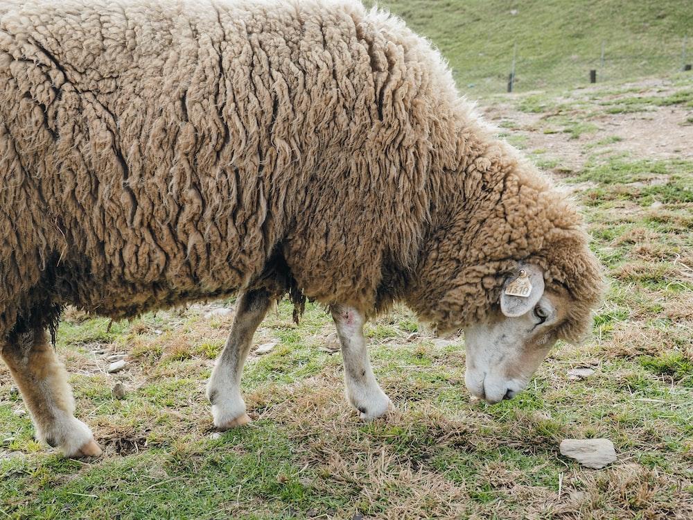 brown sheep