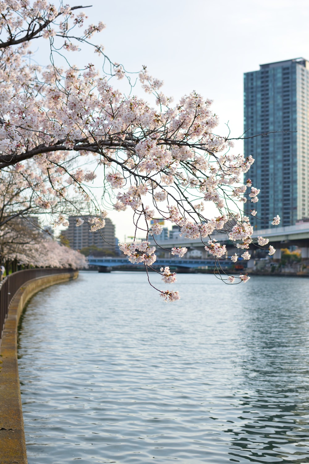 white sakura tree in river bank