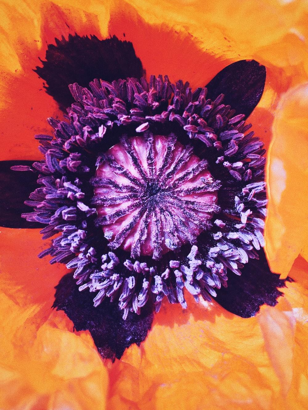 orange and violet petaled flower