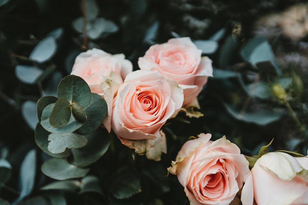 pink rose flowers on selective focus photography