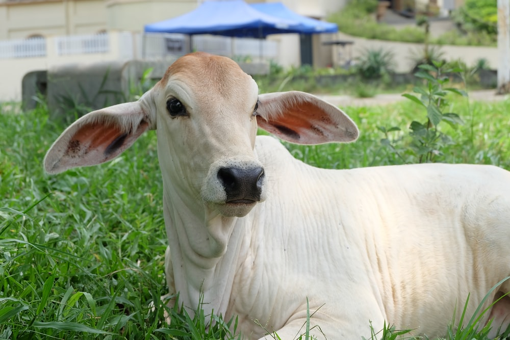 white coated cow