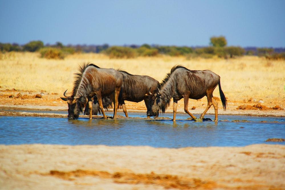 three wildebeest drinking during daytime