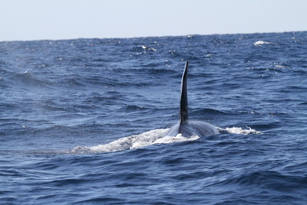 Killer whale dorsal fin