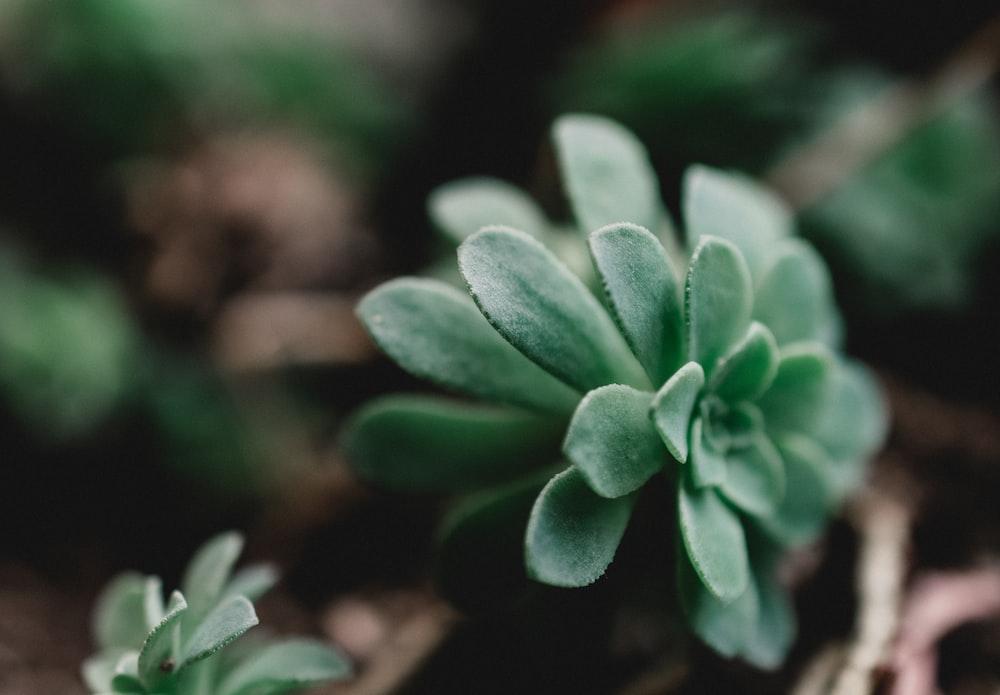 green succulents
