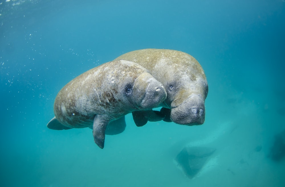 Mother manatee and calf swimming