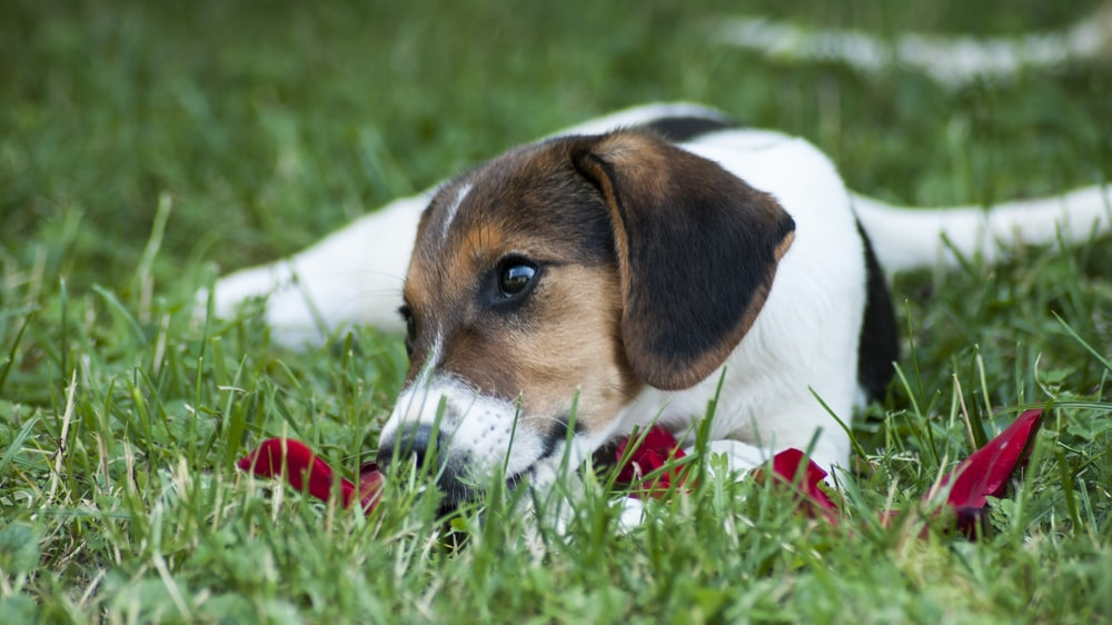 tricolor beagle on grass