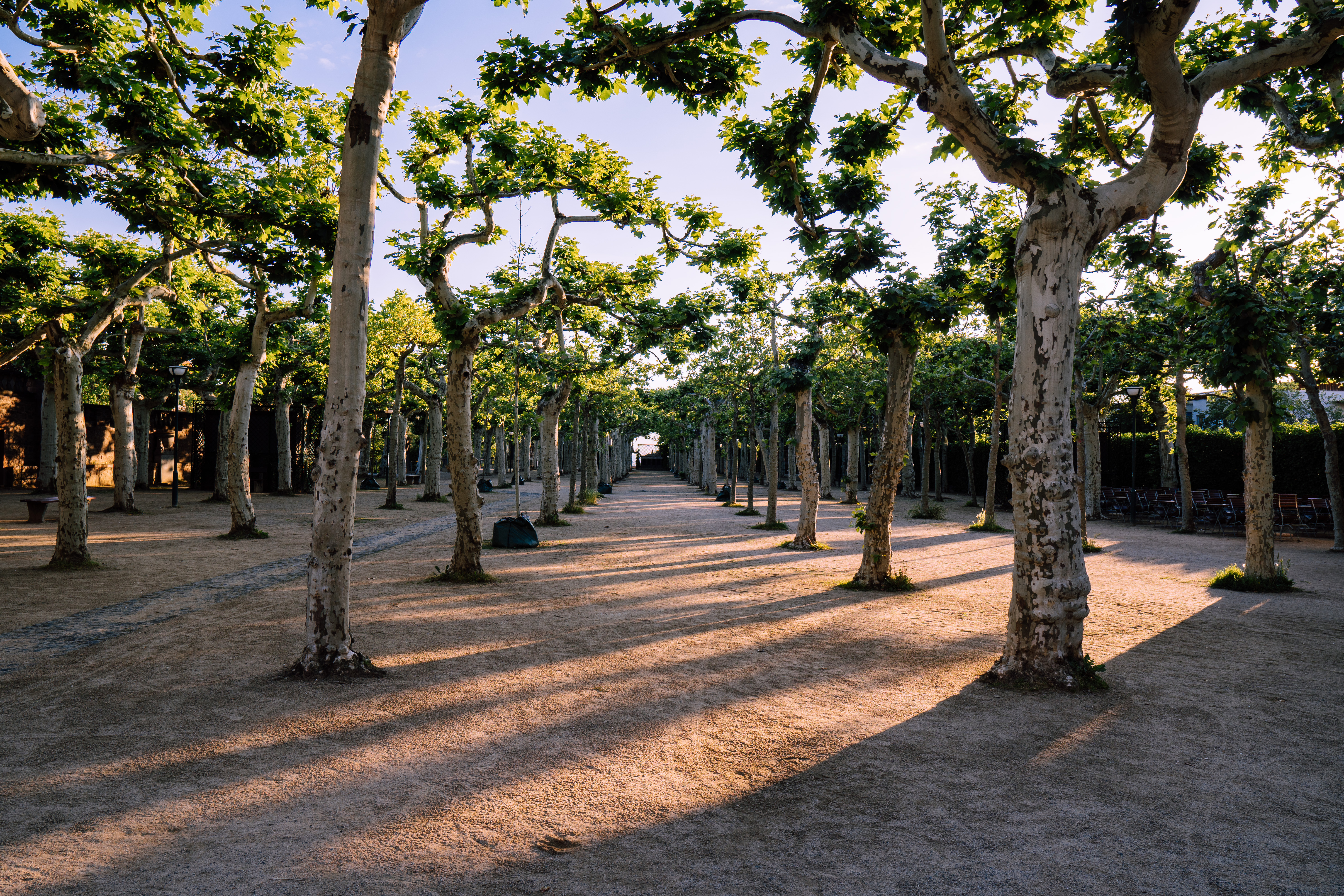 landscape photography of rows of trees