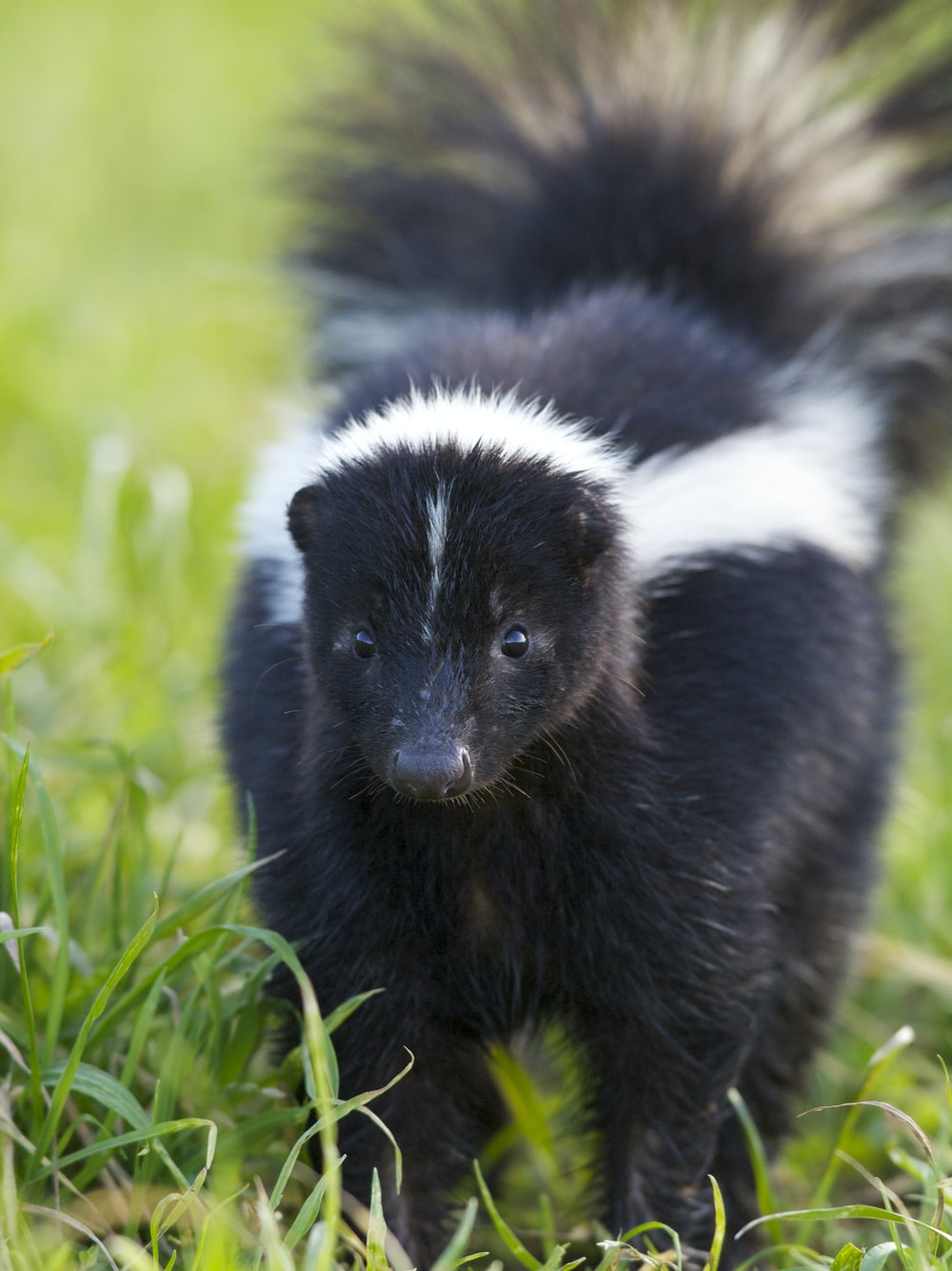 selective focus photography of skunk