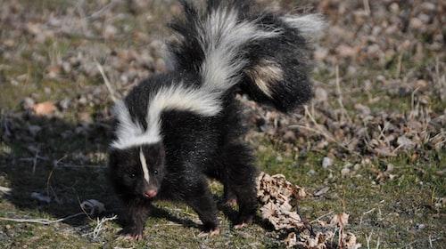 Skunks Make Horrible Customers!