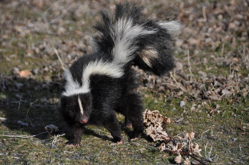 black and white skunk