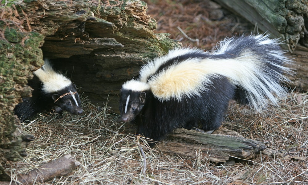 two skunks standing on dry grass