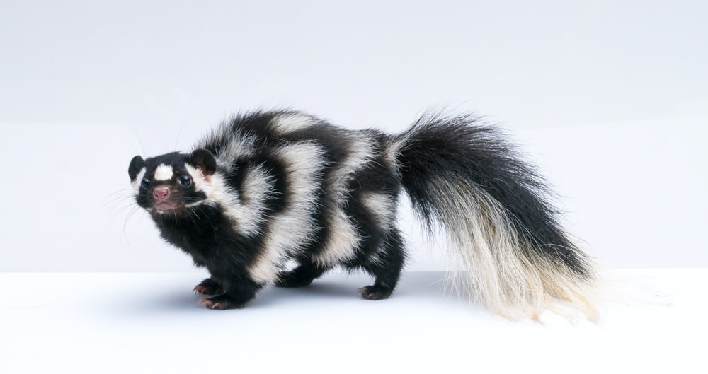 black and white skunk