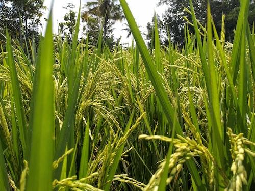 green rice bush