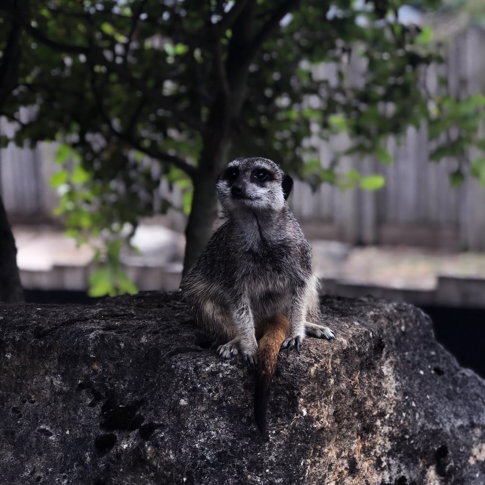 selective focus photography of meercat sitting on rock