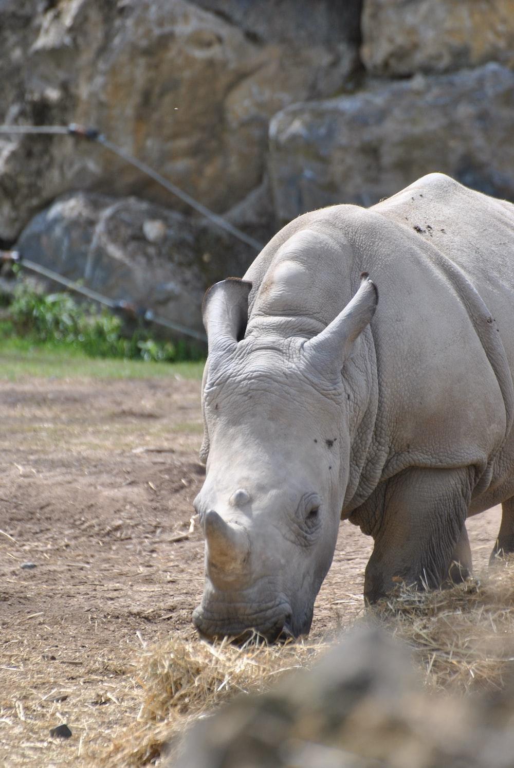 rhinoceros standing on brown soil