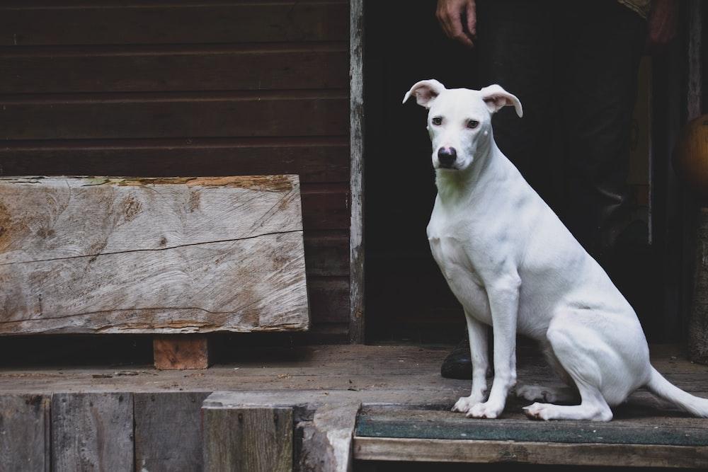 dog sitting on wooden floror