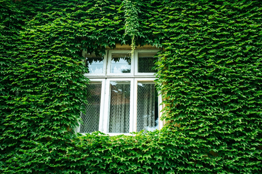 closed window and wall covered with green leaves