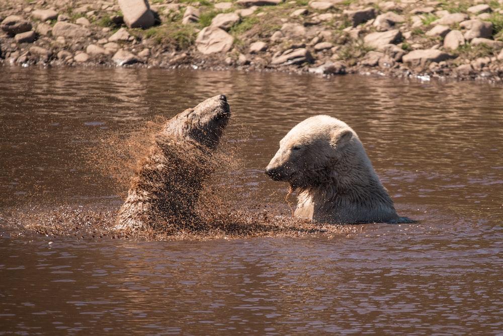 two polar bears bathing in mud