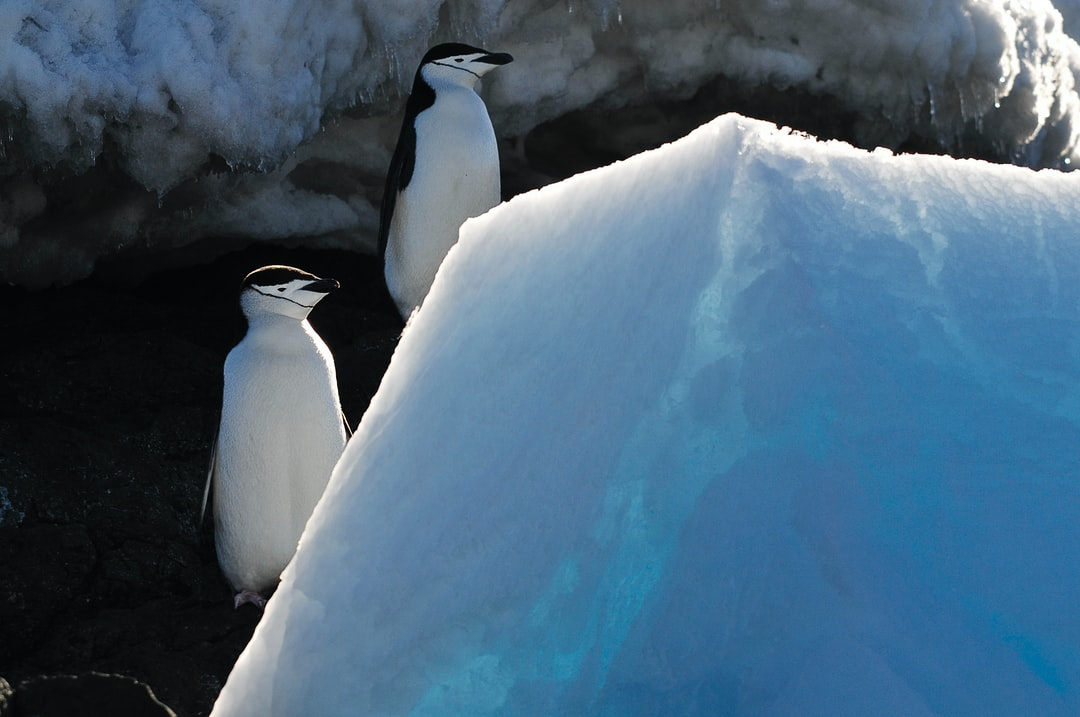 A pair of chinstrap penguins.