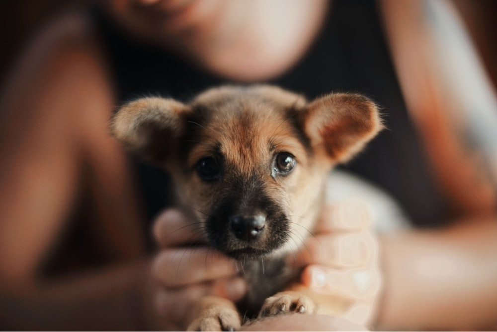 person holding brown puppy