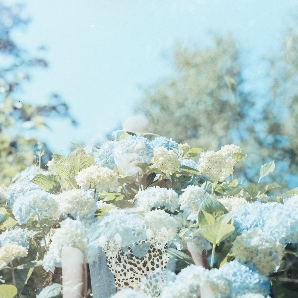 blue and white hydrangea flower