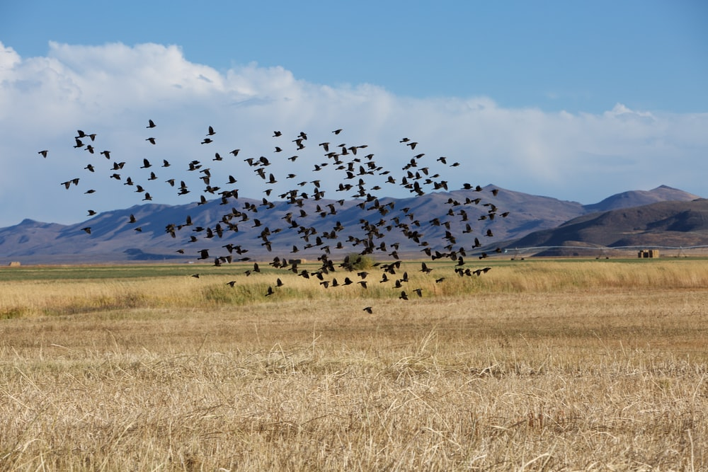 flock of birds above rice field