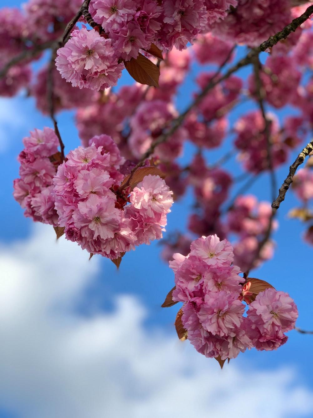 pink flowering tree during daytime