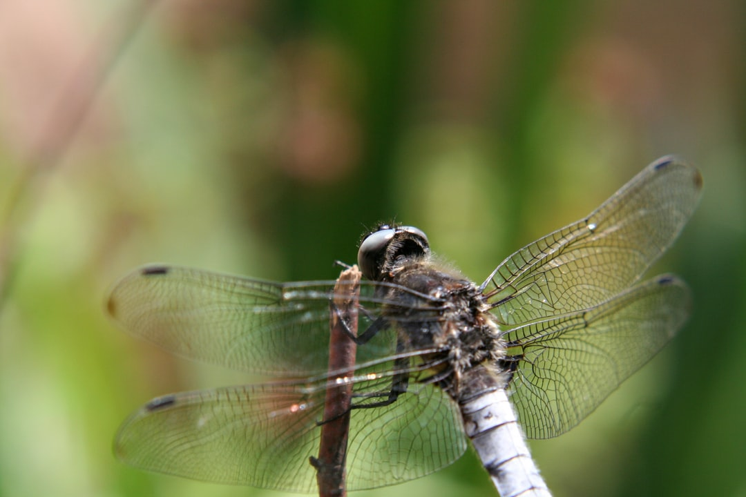 A beat up dragonfly resting on a branch.