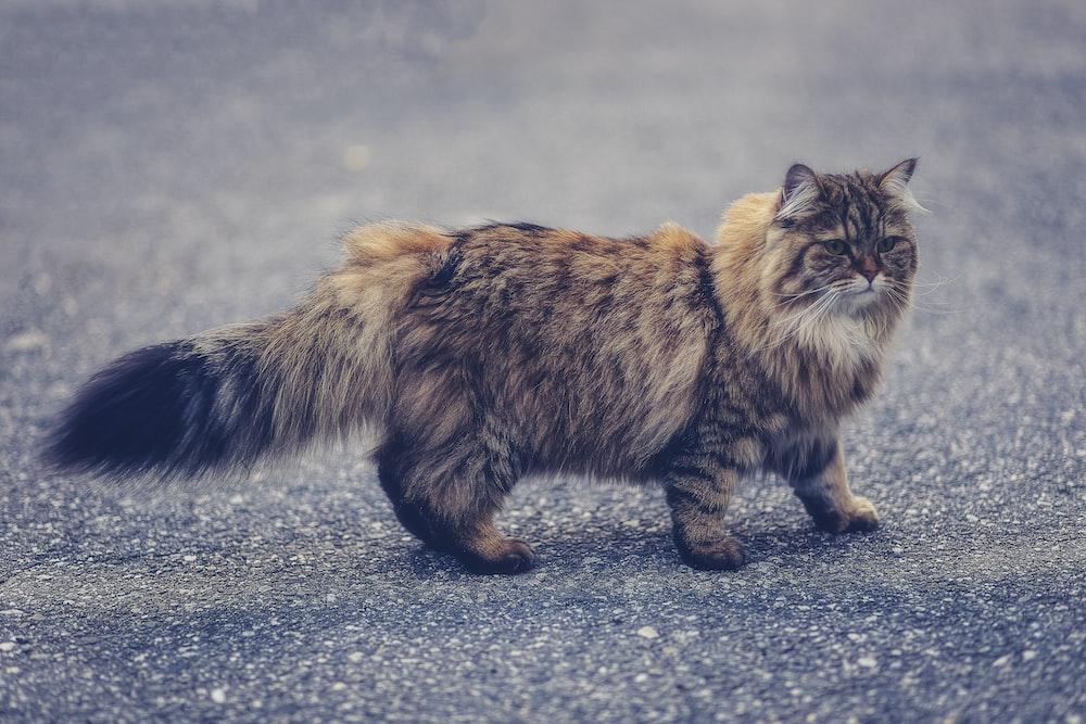 brown Persian cat walking