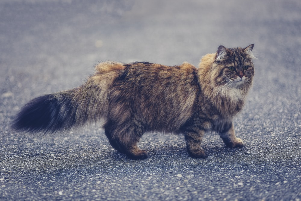 brown Persian cat walking