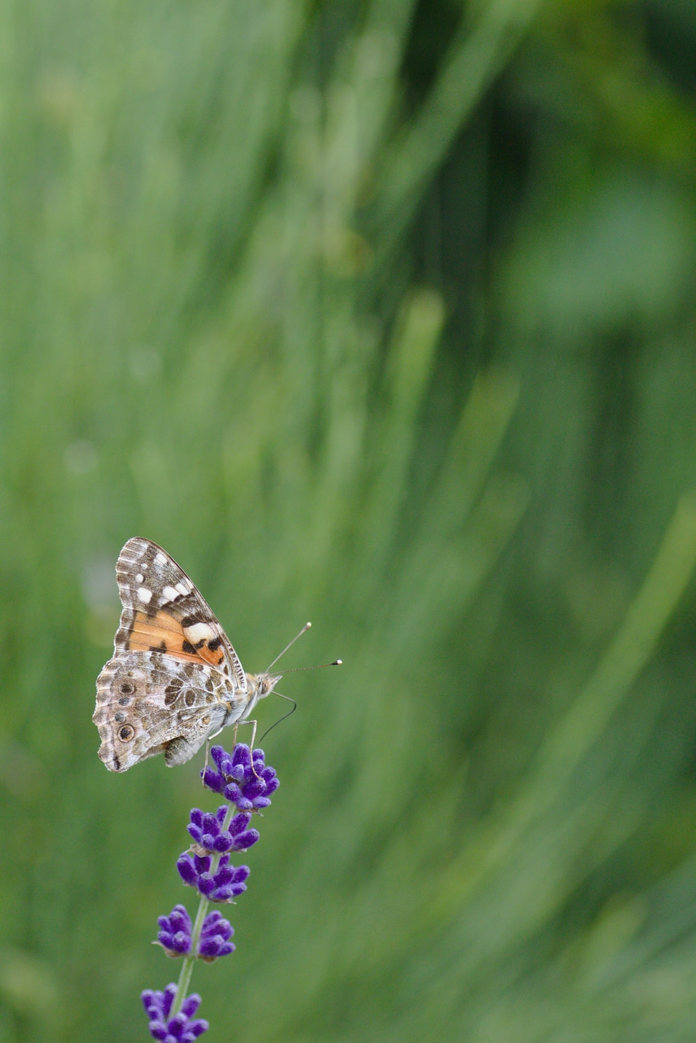 selective focus photography of orange and brown butterfly on purple petaled flower