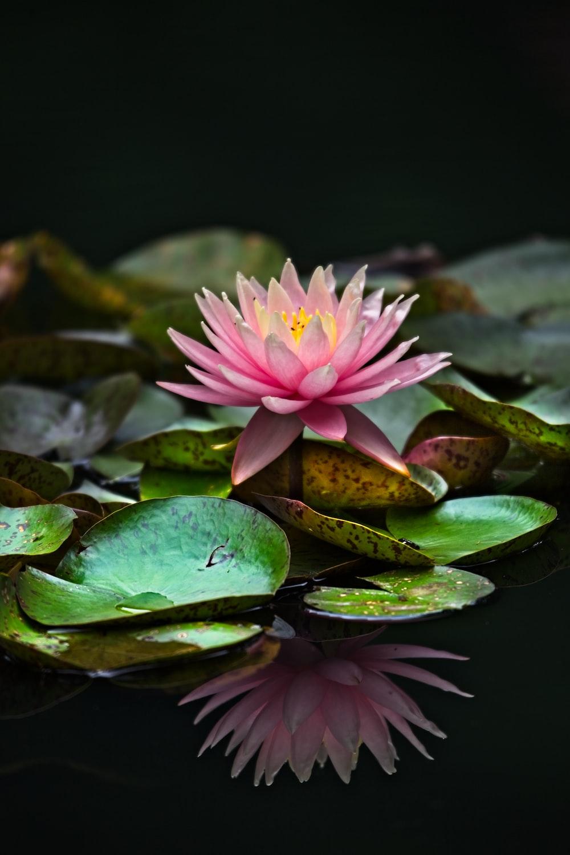 pink petaled flower plants