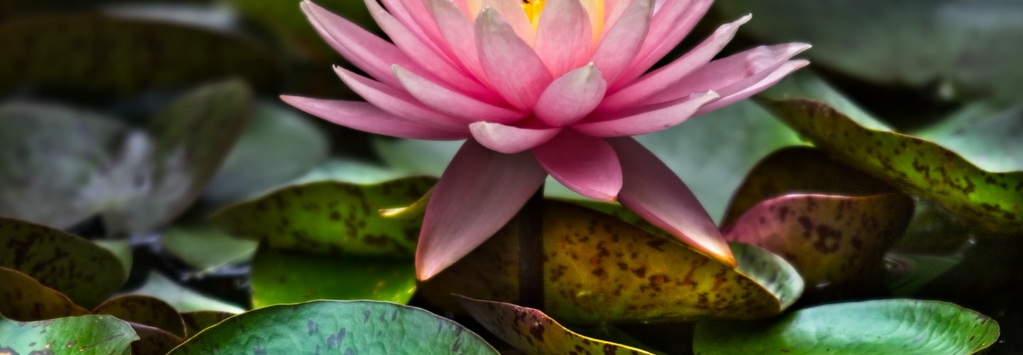 How to Plant and Grow Lilies in Home Flower Garden