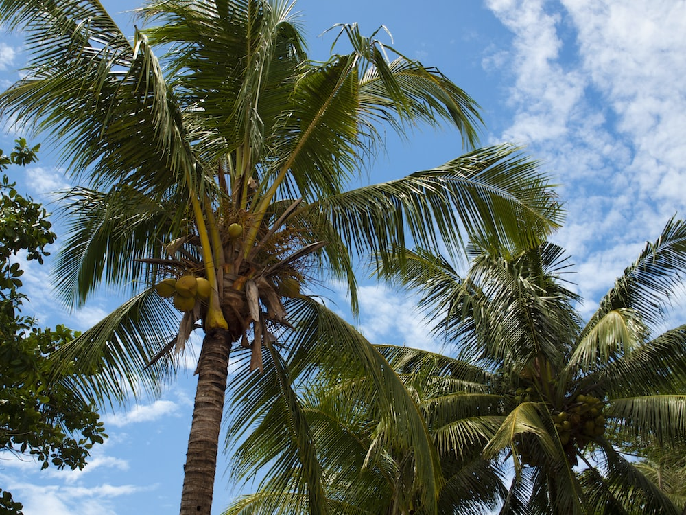green and brown coconut tree under blue sky during daytime