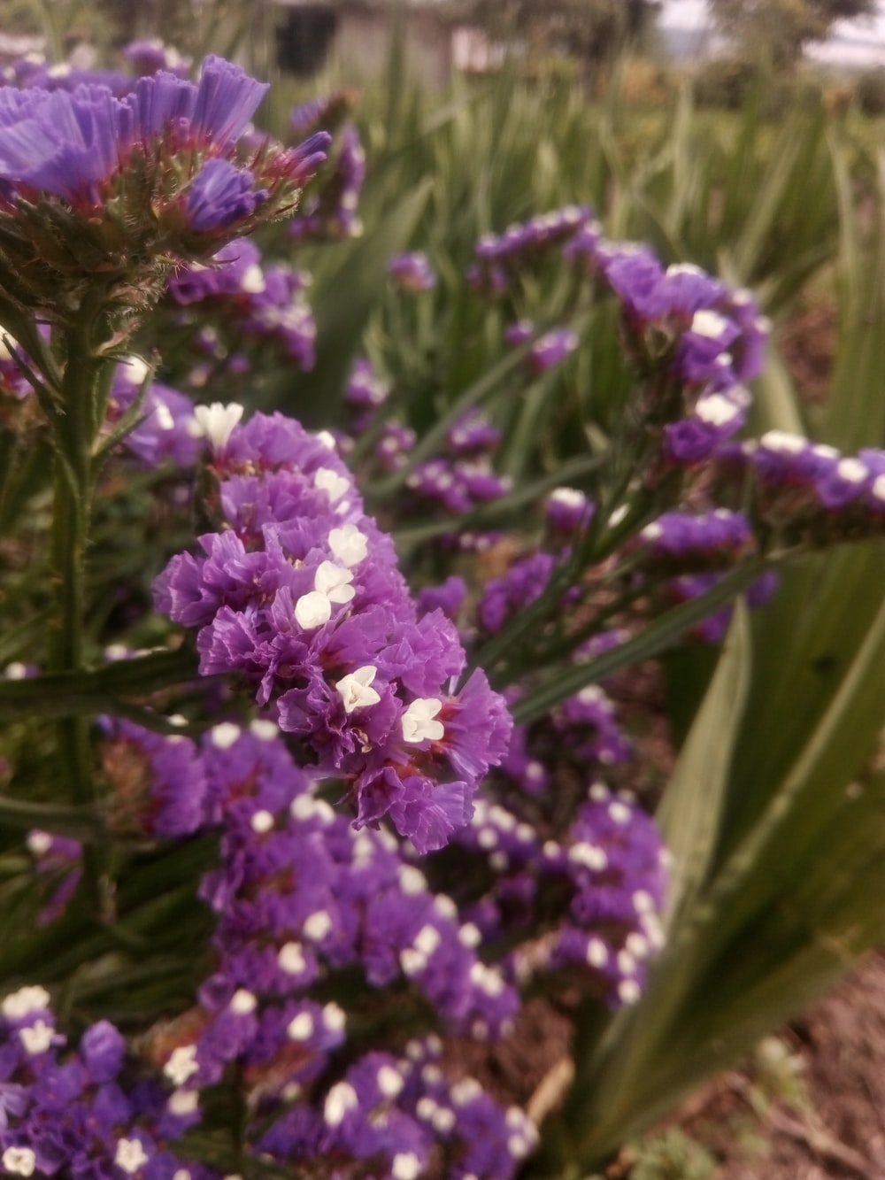 purple-petaled flowers