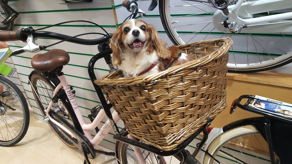 short-coated white and tan dog on brown wicker basket