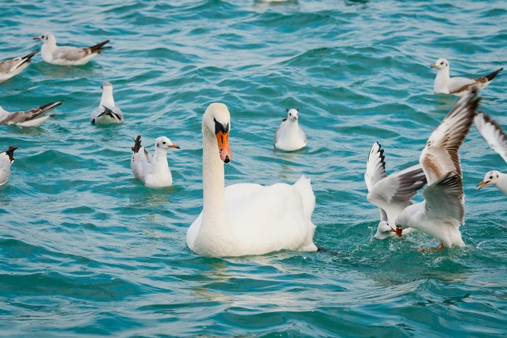 white swan among white ducks